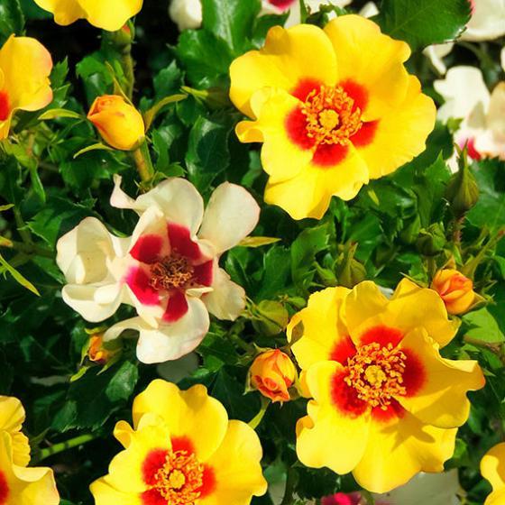 Rose Babylon Eyes® Cream