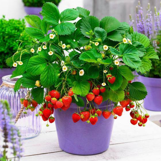 Erdbeerpflanze Fridulin Terralin, getopft