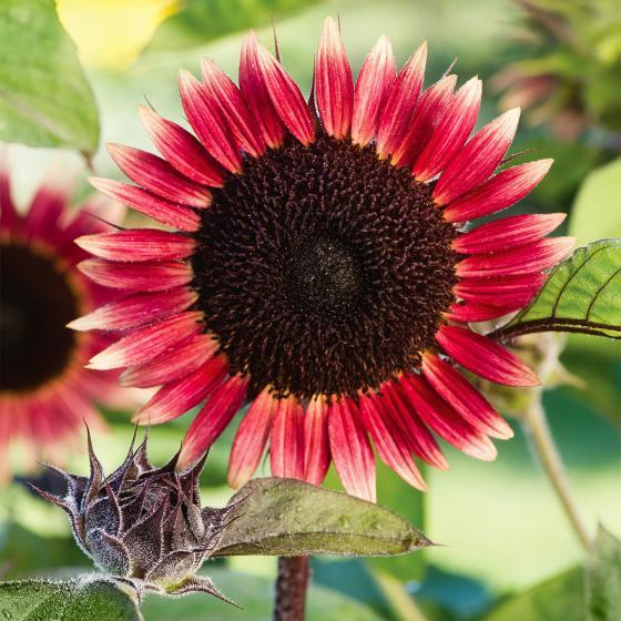 Sonnenblume Miss Mars