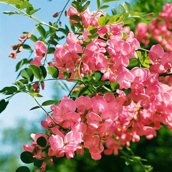 Großblumige Rosenakazie