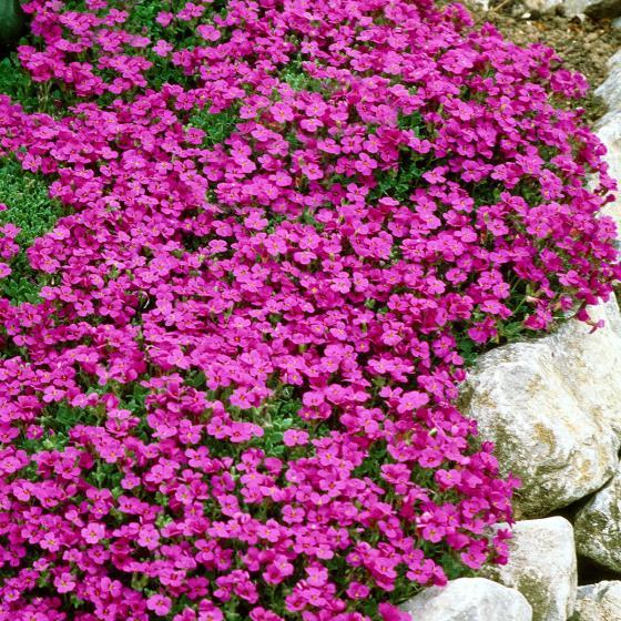 Rotviolettblühendes Blaukissen, im ca. 9 cm-Topf