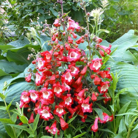 Bartfaden Polaris Red
