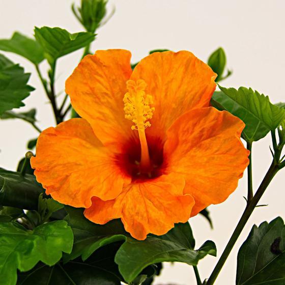 Oranger Sommer-Hibiskus
