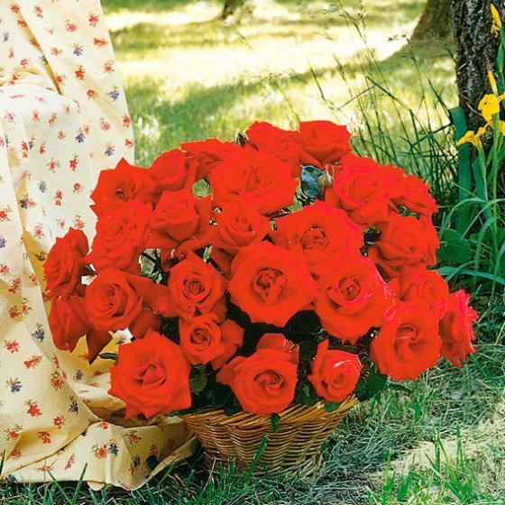 Rose Graf Lennart®, im 4-Liter-Topf