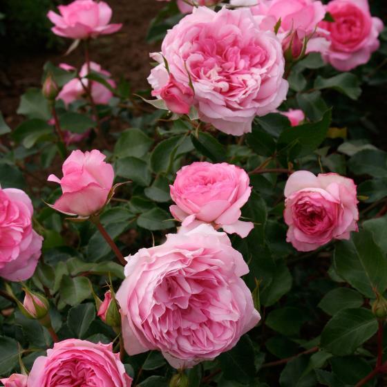 Rose Roseraie du Chatelet®, im 5,5-Liter-Topf