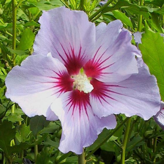 Garten-Hibiskus Marina