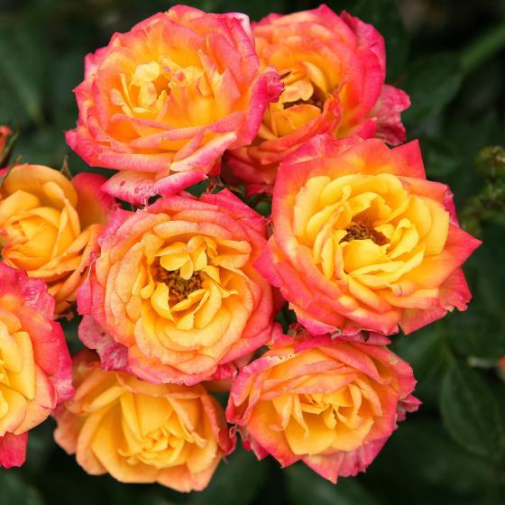 Rose Lilliputs®Little Sunset®,3-Liter-Topf