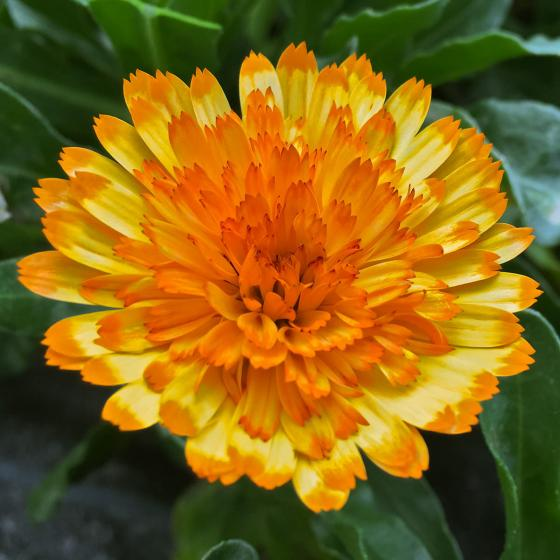Winterharte Calendula Winter Wonders® Amber Arctic