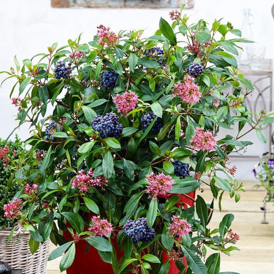 Mexikanische Heidelbeere Blue Tini