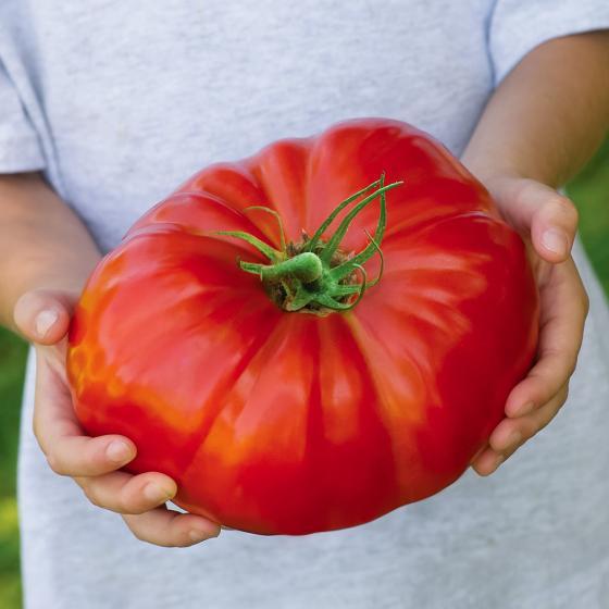 Tomatenpflanze Gigantomo F1, veredelt