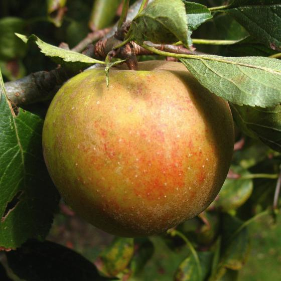 Apfel Holsteiner Cox, 2-jährig