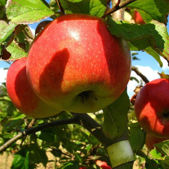 Apfel James Grieve, 2-jährig