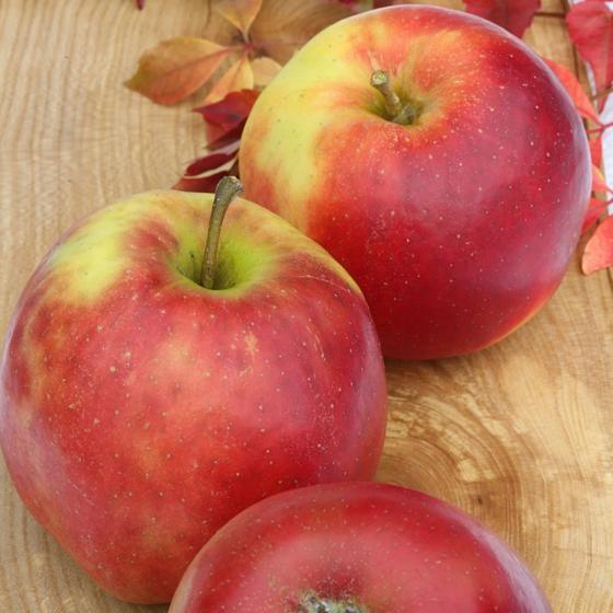 Apfel Jonagold, 2-jährig
