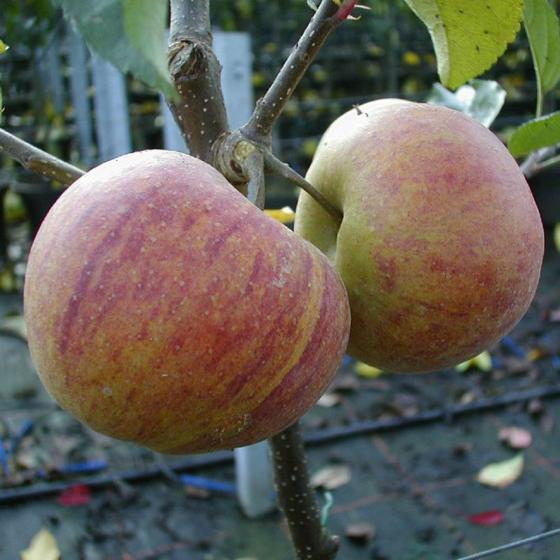 Apfel Rubinette Rosso®, 2-jährig