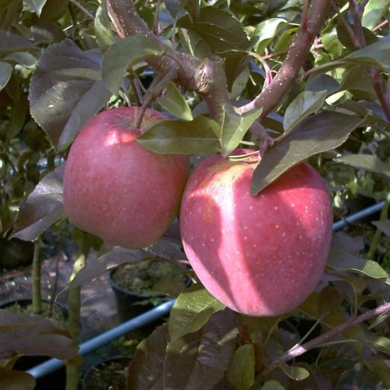 Apfel Gloster, 2-jährig