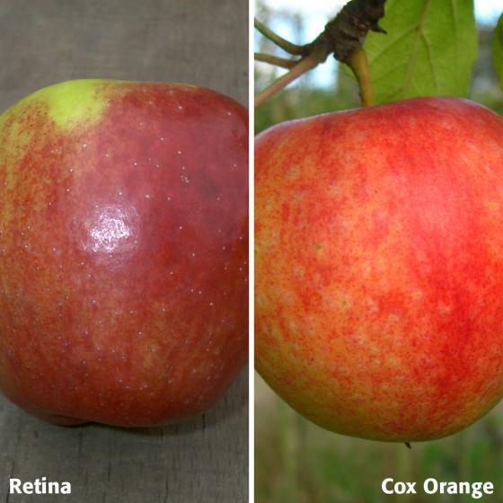 Duo-Apfel Retina - Cox Orange, 2-jährig