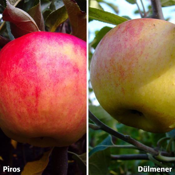 Duo-Apfel Piros - Dülmener, 2-jährig