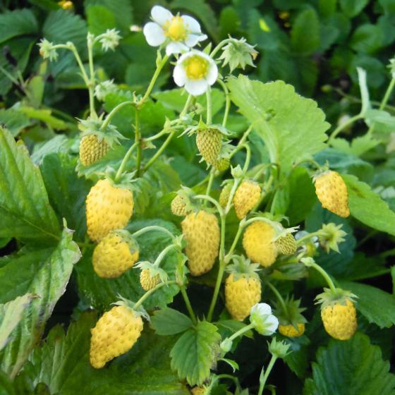 Erdbeere Goldlady, getopft
