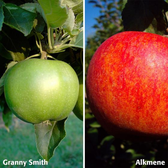Duo-Apfel Granny Smith - Alkmene, 2-jährig