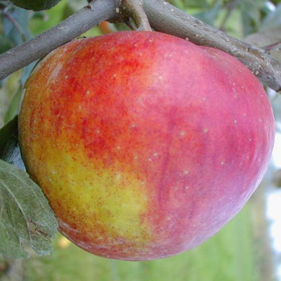 Apfel Pilot®, 2-jährig