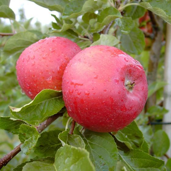 Apfel Santana(S), 2-jährig