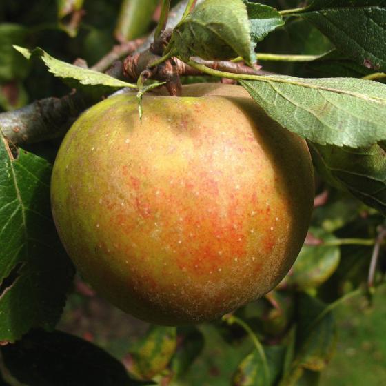 Apfel-Halbstamm Holsteiner Cox, 2-jährig