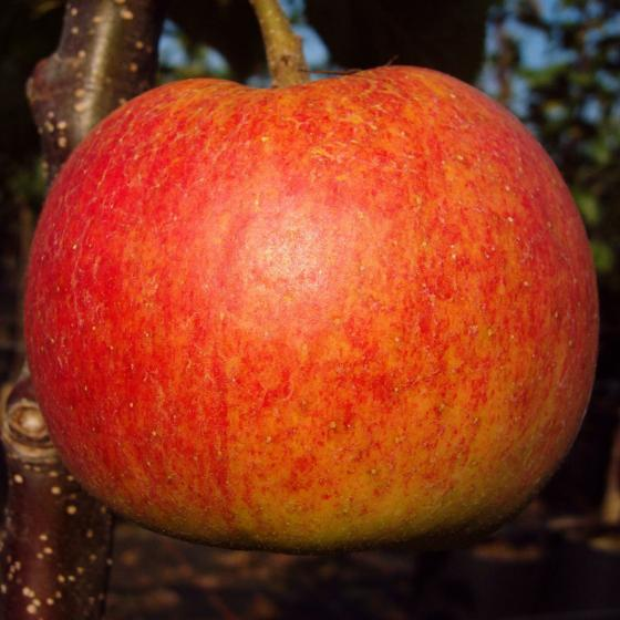 Apfel Rewena®, 2-jährig