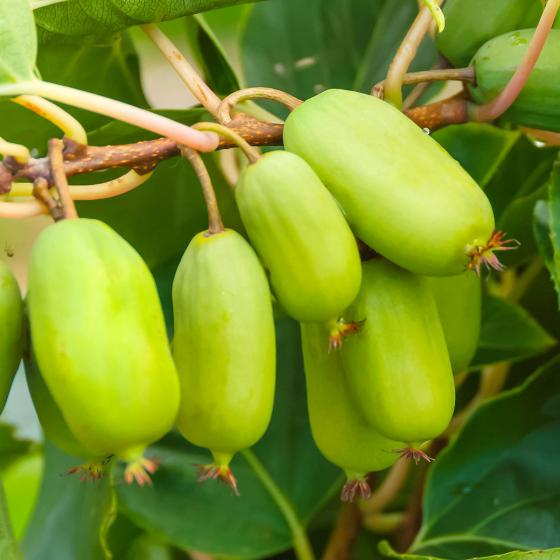 Kiwi Berry® Super Jumbo®, im ca. 17 cm-Topf