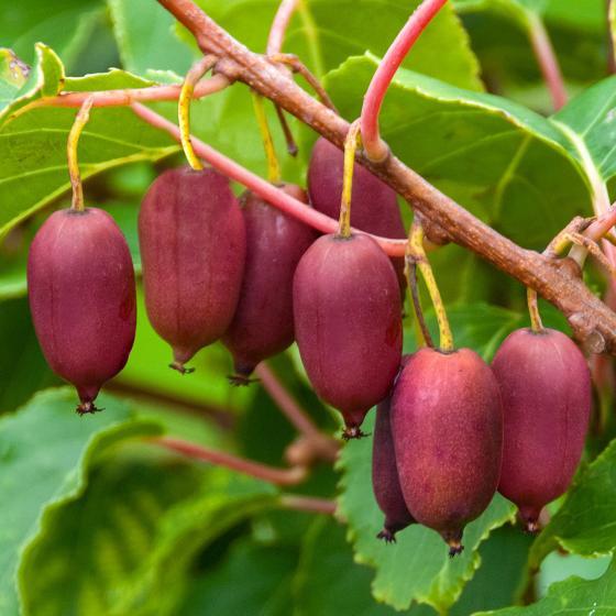 Kiwi Berry® Red Jumbo®, im ca. 17 cm-Topf