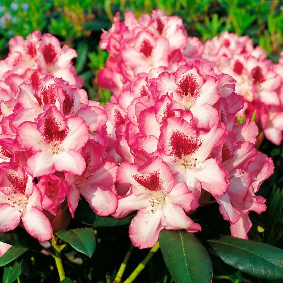 Rhododendron Charmant