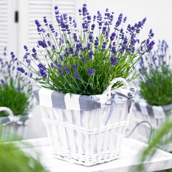 Lavendel Hidcote Blue XXL