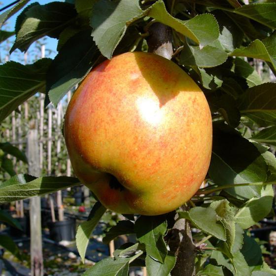 Säulen-Apfel Rhapsodie®, 2-jährig