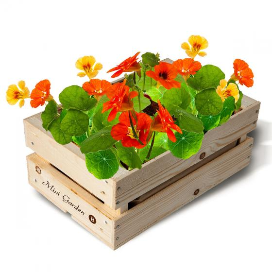 Mini-Garten-Kiste Kapuzinerkresse