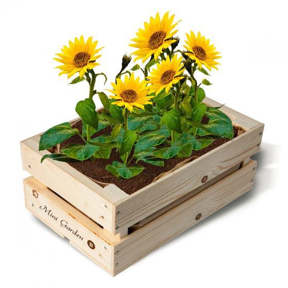 mini garten kiste mit mini sonnenblumensamen online kaufen bei g rtner p tschke. Black Bedroom Furniture Sets. Home Design Ideas