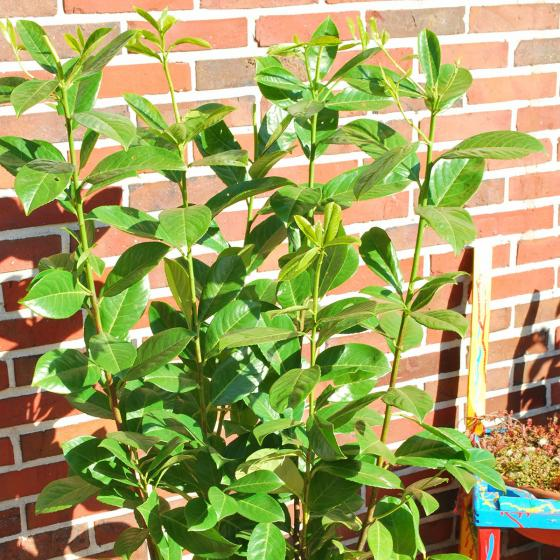 Kirschlorbeer Rotundifolia, im ca. 25 cm-Topf, Höhe ca. 40-60 cm