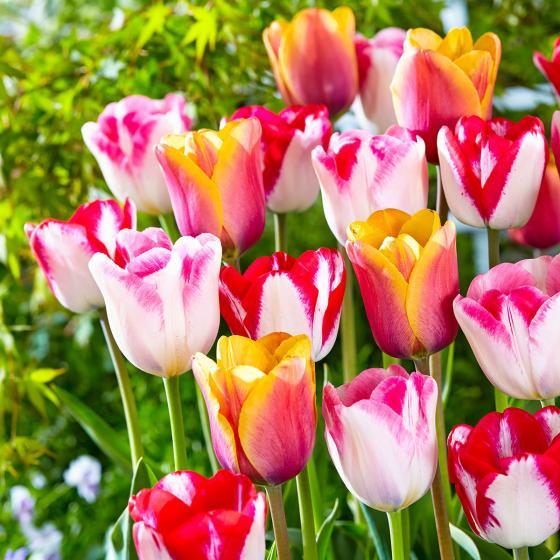 Gärtner Pötschkes Gute-Laune-Tulpen-Mischung