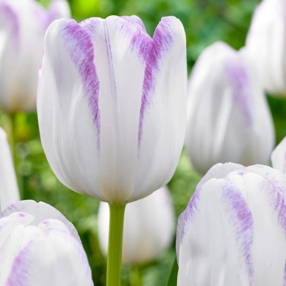 Tulpe Gwen
