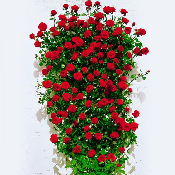 Rose Santana®, XL-Qualität
