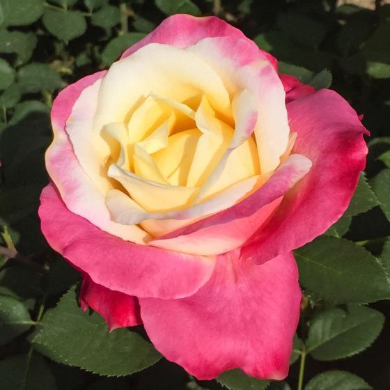 Edelrose Parfum Tropical®, im ca. 23 cm-Topf