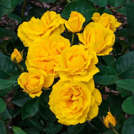 Rose Carte d'Or®, im 5-Liter-Topf