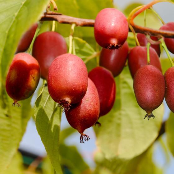 Kirsch-Kiwi Cherrybomb
