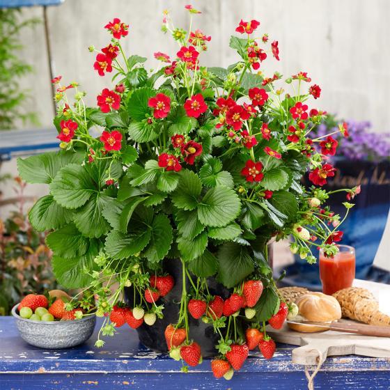 Erdbeere Ruby Ann