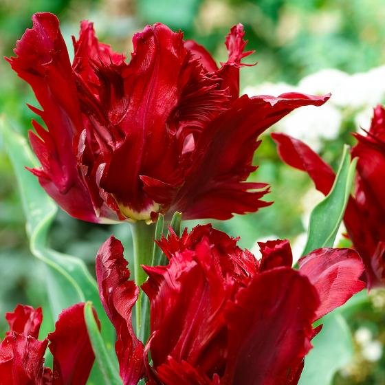 Tulpe Red Lizard