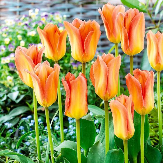 Tulpe Apricot Emperor