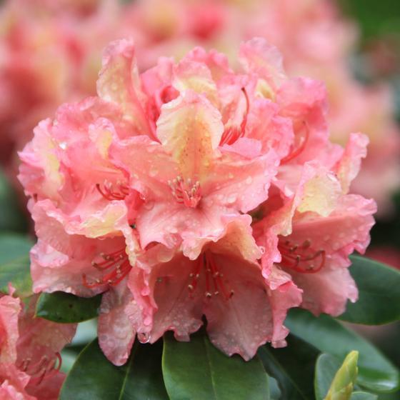 Rhododendron Brasilia, im 2-Liter-Container