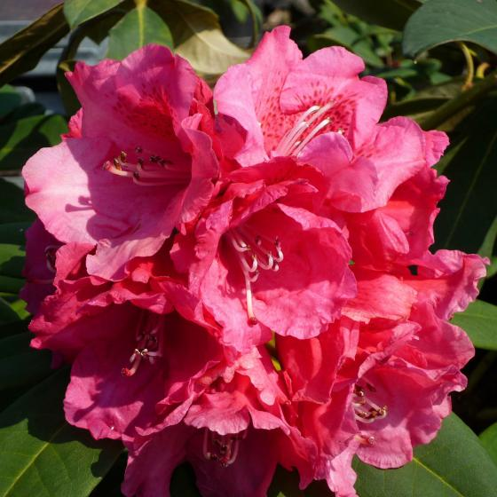 Rhododendron Rote Liebe, im 2-Liter-Container