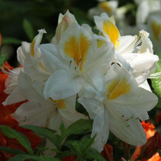 Garten-Azalee White Melody, im 2-Liter-Container