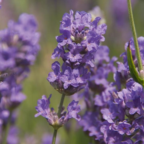 Englischer Lavendel Cedar Blue, im ca. 13 cm-Topf