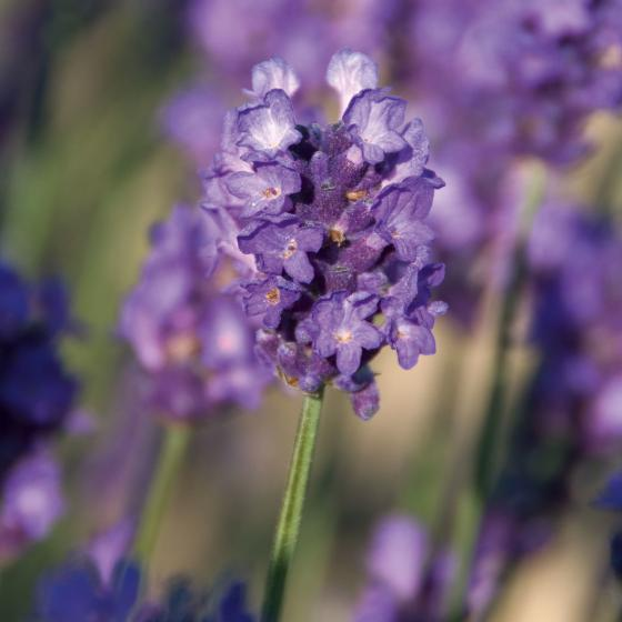 Englischer Lavendel Peter Pan XL