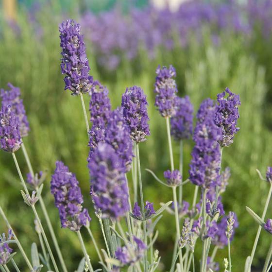 Englischer Lavendel Richard Gray XL